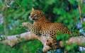 Sri Lanka Leopard Lankan 792861 2560x1600