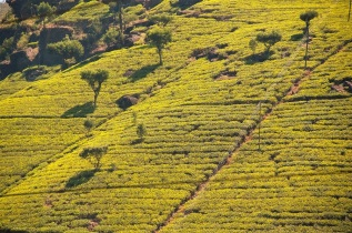 tea-plantation1