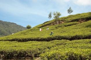 tea-plantation4