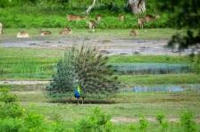 yala-peacock